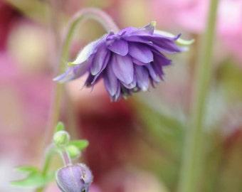 Fine Art Photography Card-Fine Art Photograph-Columbine-Columbine card-Purple flower card-Purple and pink card-Purple Columbine-Nature