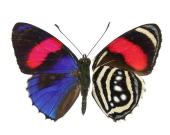 Real Callicore hesperis Butterfly, spread for your project or laminated or unmounted