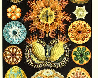 Ernst Haeckel art print, bright and colorful unique home decor, digital download no. 1670