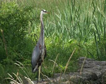 Blue Heron large bird stock photo image free use