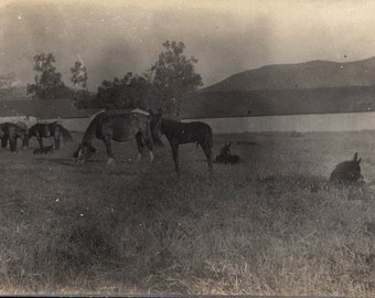 vintage photo Horses with Young Mules San diego Pastureland 1910