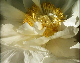 White Flower Photograph--White With Yellow Center II--Fine Art