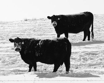 Snow Cows, Animal Photograph, Cows in Winter, Bovine Photo, Nature Print, Fine Art, Childerns Room, Nuasery Decor, Black And White