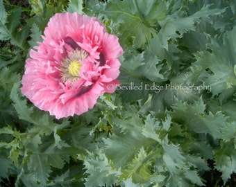 11x14 print of pink zinnia in English Garden