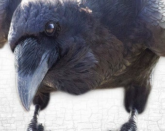 Quoth the Raven Nevermore - Signed Fine Art Photograph by June Hunter, Raven Portraiture