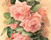 Pink Cabbage Roses, Art Print, Paul de Longpre, A Bunch of Beauties Half Yard Long