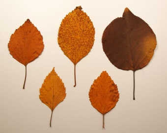 Dried Pressed Leaves