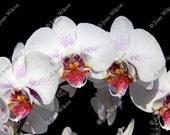 Pretty White & Fuschia Phalaenopsis Orchids Floral Fine Art Photography Photo Print