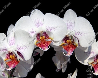Pretty White & Fuschia Phalaenopsis Orchids Floral Fine Art Photography Photo Print