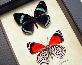 Real Framed Amazing Diaethria Clymena 88 Butterfly Pair 339P