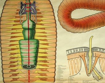 Stunning Vintage Wall Size / Poster Pull Down School Chart on Earthworms / Worms. Printed in Sweden