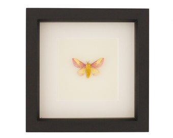 Framed Rosy Maple Moth Insect Display