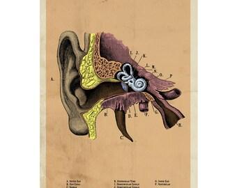 The Human Ear Adhesive Print