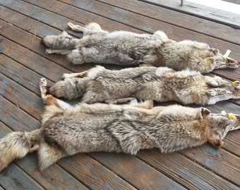 One Coyote Fur Pelt- Soft garment Tanned in Your Choice of Quality