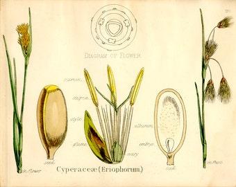 Cotton Grass, Bog Cotton Sedge, Antique Botanical Print, 1874, Plate 99, Natural History, Vegetable Kingdom, Hand Colored, Black White