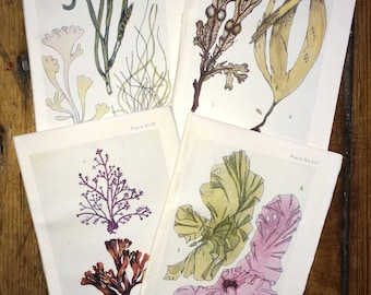 c. 1907 set of 4 sea life prints - the sea shore original antique sea life ocean print - sea weed