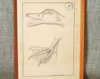 Drawing , Duck , Goose , Art , Fine Art , Bird , Student Art , Lesson Drawing , Antique Drawing , Specimen Drawing , Framed , European Art