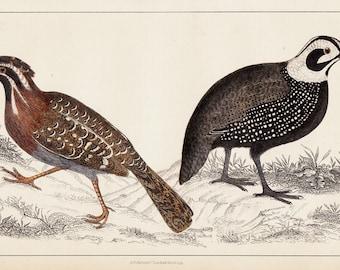 1840 Amazing Antique BIRD print, hand colored engraving of a Quails, Long tailed quail and Montezumas's quail. Original antique print