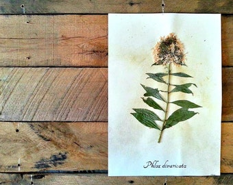 Phlox Herbarium Specimen - Real Pressed Botanical Art