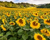 Sunflower Field in Bavaria Photo