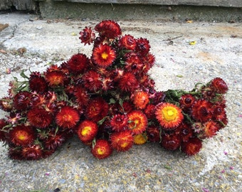 5 bunches of rust red Strawflowers - dried flowers