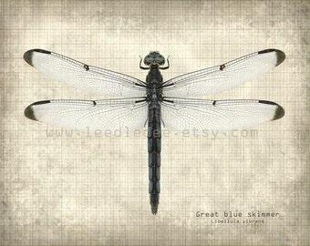 Dragonfly Entomology Print - Vintage Style Original Photograph Illustration - Blue Skimmer Nature Specimen Distressed Aged Science Wall Art