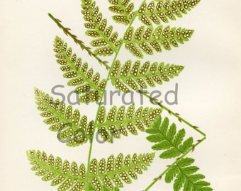 Antique Fern Chromolithograph Original Print - Green Fern Frond - Antique 1874 Edward Lowe Fern - No. 25 - woodland flora