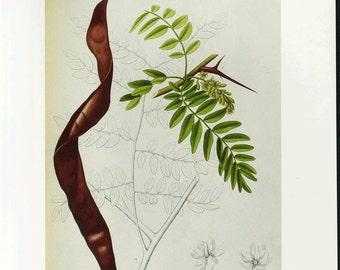 Vintage Botanical Print 1984 Color Art Original Book Plate 183 Beautiful Honey Locust Chart Tree Branch Leaves Antique Writing Home Decor