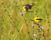 SPRING CLEARANCE SALE Mr. and Mrs. Goldfinch - Fine Art Lustre Print