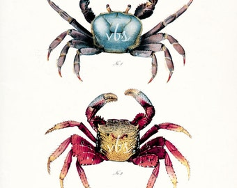 Coastal Decor - Two Mango Crabs Natural History Art Print 8x10