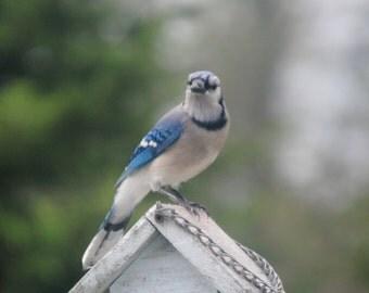 Sooo Many Blue Jays