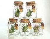 SALE Five 100% Love Cute Little Air Plant Habitats, Air Plant Glass Jar Terrariums, Glass Jar Air Plant Terrariums, Live Air Plants in Jars