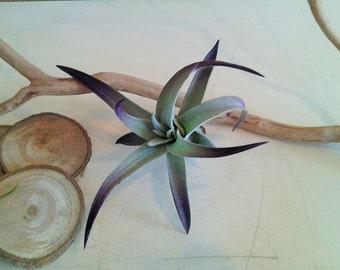 TREASURY ITEM - Air plant - purple air plant - Plagiotropica -  Diy projects - Terrariums - Moss - Color air plant - Gift