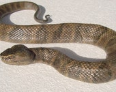 Water Moccasin or Cottonmouth Snake Sculpture
