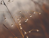 Nature Photograph | Rain Drops on Stem | Floral Rustic Weather Winter | Brown Tan Orange Wheat | Square | Wall Art | Home Decor