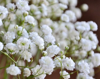 Heirloom 1200 Seeds Gypsophila white Baby's Babys Breath Bulk Seeds Garden Flowers S065