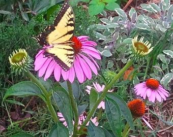 Echinacea Seeds - Purple Coneflower - Echinacea purpurea -- Medicinal Herb
