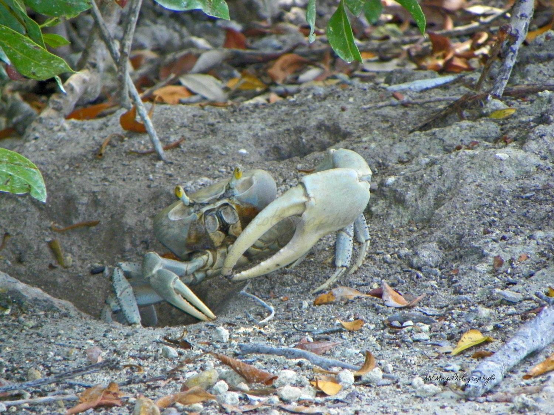 blue land crab print florida land crab print free us