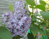 Lilac plant Syringa Vulgaris. To be shipped till April