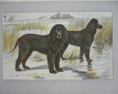ANTIQUE 1907 IRISH Water SPANIEL signed dog print Chromolithograph P Mahler German artist Collectors item Christmas, Birthday gift Authentic