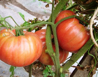 Rose  Heirloom Tomato Seeds Non GMO Open Pollinated  Naturally Grown