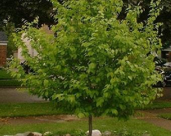1000 American Hornbeam Tree Seeds, Carpinus Caroliniana