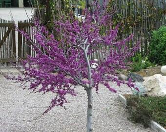 50 Western Redbud Tree Seeds, Cercis occidentalis