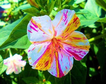 Heirloom Marvel of Peru Flower Seeds, Unique Four O'Clock Flowers, Color Striped Flowers, 10 Seeds