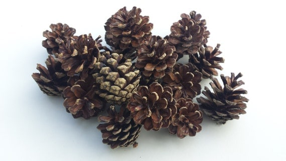 small pine cones pine cones pine cone pine by cottagecoppicing