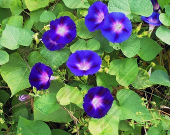 Morning Glories 5 X 7 Instant Download