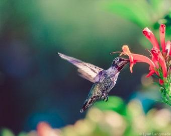 """Hummingbird Photography - hummingbird with pink flower, nature photography, bird photography, summer photos, bird prints - """"Summer Romance"""""""