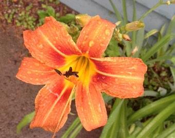 BEAUTIFUL EDIBLE DAYLILIES 10 plants with bulbs