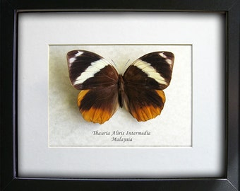 Exotic Tufted Jungleking Thauria Aliris Real Large Butterfly In Shadowbox