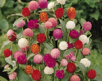 Globe Amaranth Seeds, Mix Color ~ White, pink, rose, Salmon,and purple.